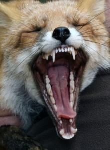 Fuchs gähnt
