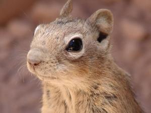 Echter Lemming - Lemmus - Familie Wühler (Cricetidae), Gattung Mäuseverwandte