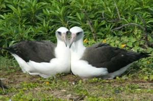 Zufriedene Albatrosweibchen